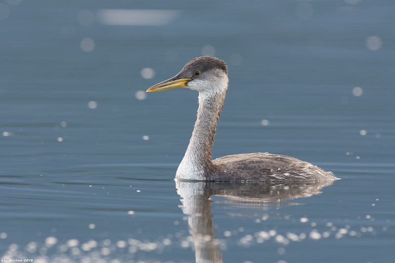 red-necked grebe deep bay bc
