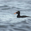 surf scoter qualicum bc