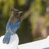 steller's jay mt washington