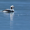 long-tailed duck deep bay bc
