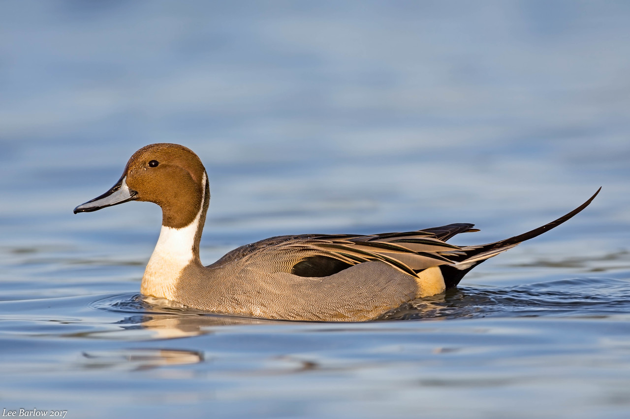 northern pintail Victoria  bc