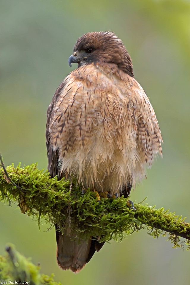 red-tailed hawk Victoria bc