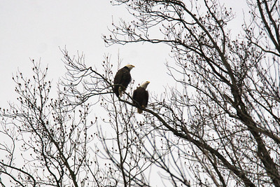 2 Adult Eagles sitting in a tree