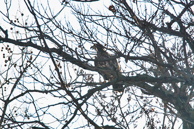 Juvenile Bald Eagle in a tree -3