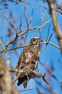 Juvenile Bald Eagle in a tree - 2
