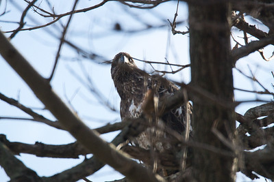 Juvenile Bald Eagle in a Tree - 4