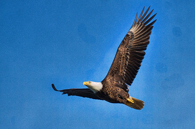 Adult Bald Eagle in Flight - 1