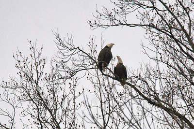 2 Adult Bald Eagles Communicating