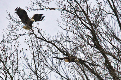 2 Adult Bald Eagles fighting