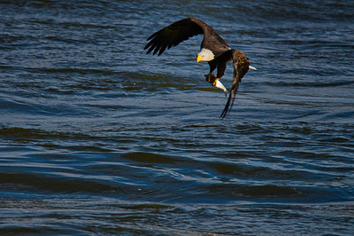 Adult Bald Eagle in Flight with a fish - 3