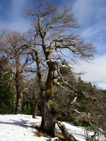 Cool old gnarled tree stands sentinel over the valley.