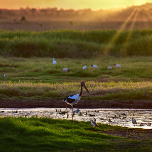 """Jabiru at Sunset."""