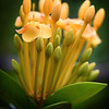 """Ixora Opening to Greet the Day."" 5x4 crop."