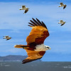 """Brahminy Kite Flanked by Gulls."""