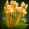 """Ixora Opening to Greet the Day."" Square crop."