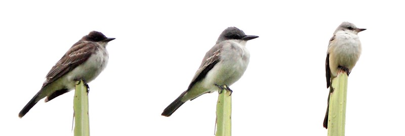 flycatcher comparison, Limon Costa Rica, Dec 2013