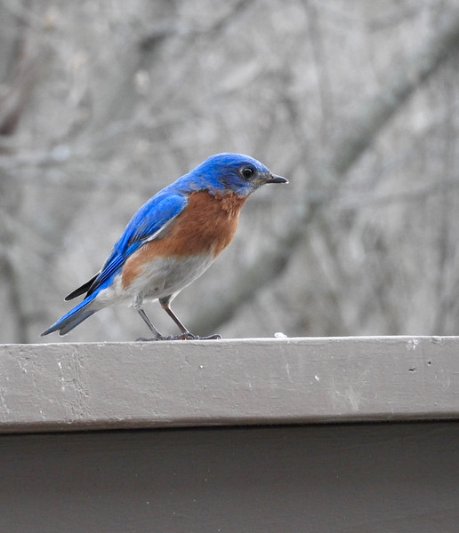 Eliot's bird-feeding setup right outside the kitchen window is a daily delight. Bluebirds are infrequent visitors in Bloomington but we had this one in April.