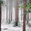 Holiday Wintery Forest