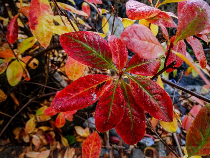 Western Azalea showing it's Fall Colors along Little Carson Trail