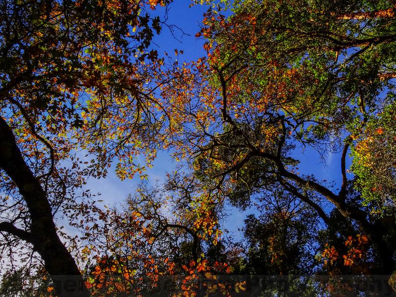 Oaks and Skies