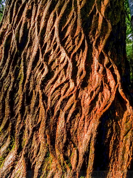 Old-growth California Nutmeg Bark