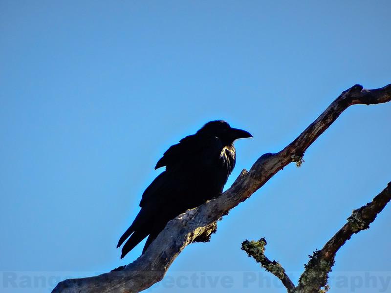 Raven at Sky Oaks