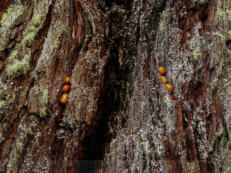 Acorns and Redwood Bark