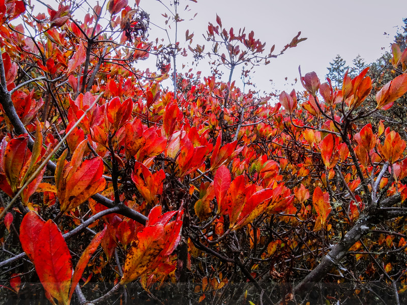 Western Azalea showing its Fall Colors