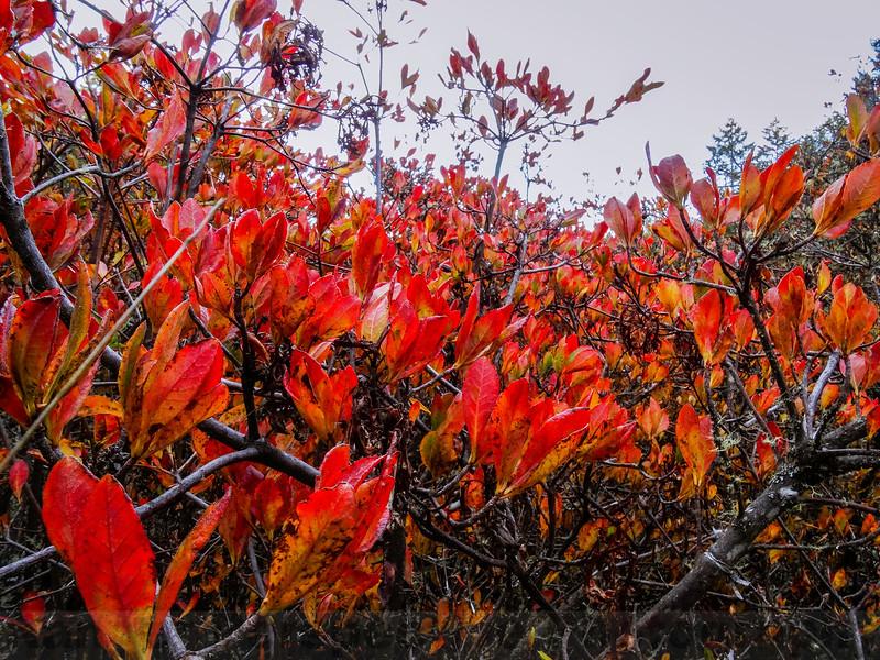 Western Azalea showing its Fall Colors