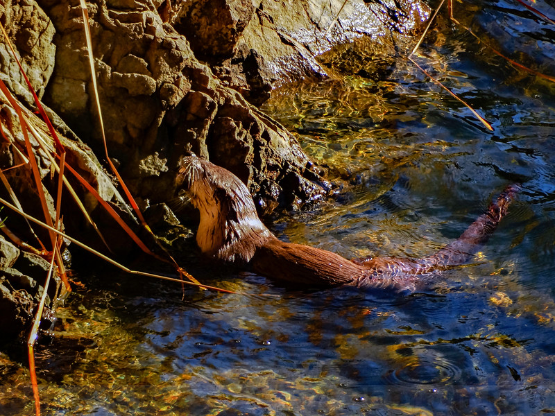 Meal time for a River Otter