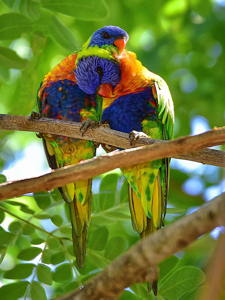 """Itchy & Scratchy - Rainbow Lorikeets."""