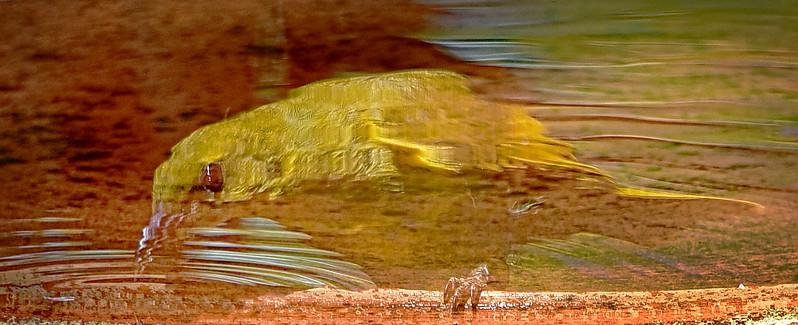 Yellow Honeyeater Reflection. Inverted.