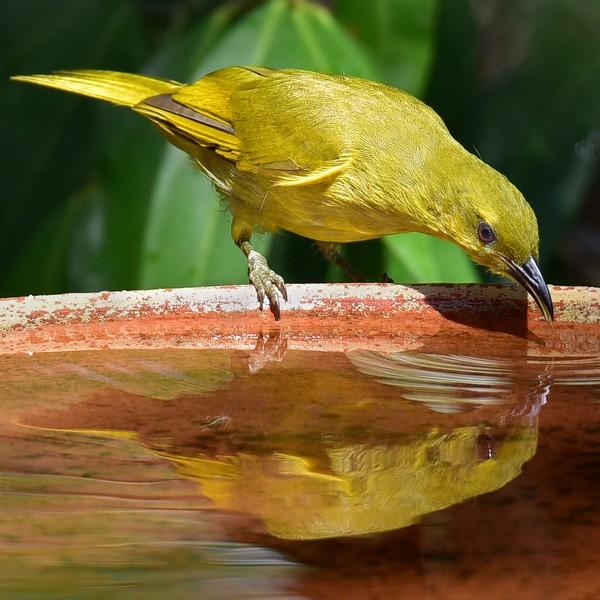 Yellow Honeyeater - Original image.