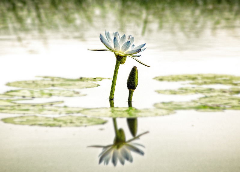 """Water Lily Meditation."""