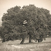 Hill Country Live Oaks