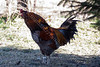 0677<br /> Rooster Crowing