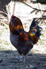 0668<br /> Rooster