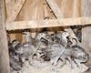 Pheasants on the farm   -    Image ID   0774