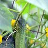 3777 - Cucumber growing in grandpa's garden