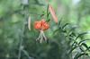 Tiger Lily Image ID # 0159