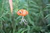 Tiger Lily Image ID # 0157