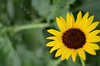 3815 - Bright Sunflower