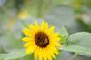 Sunflower Image ID # 0171