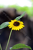 3826 - sunflower