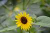 Sunflower Image ID # 0175