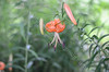 Tiger Lily Image ID # 0156