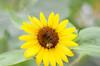 Sunflower Image ID # 0173