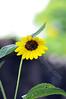 3825 - sunflower