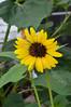 3756 - Sunflower