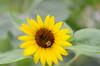 Sunflower Image ID # 0174